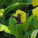 Kolibrie op Bonaire (c) 2010 BonaireVakantieland.nl